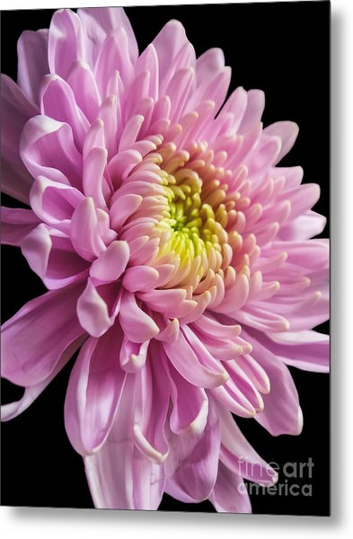 The One And Only Dahlia  Metal Print