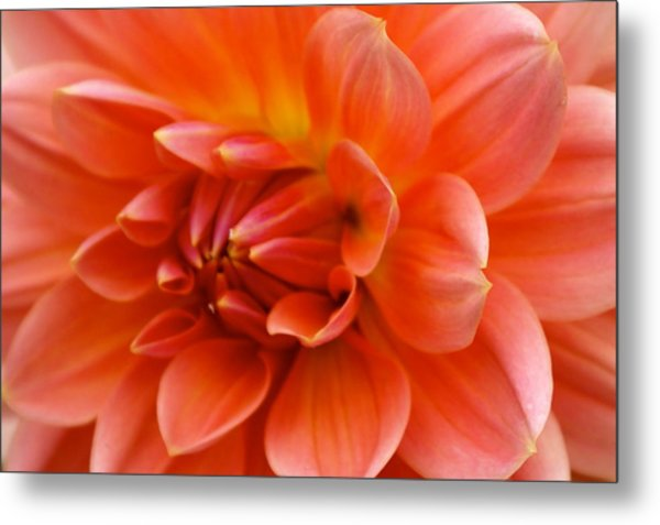 The Opening Of A Dahlia Metal Print by Sonja Anderson