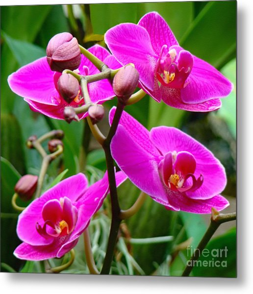 The Orchid Dance Metal Print