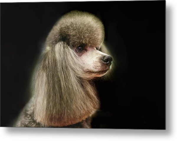 The Poodle Is A Breed Of Dog, One Of The Most Common Breeds In The Present. Metal Print