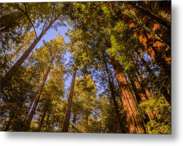The Portola Redwood Forest Metal Print