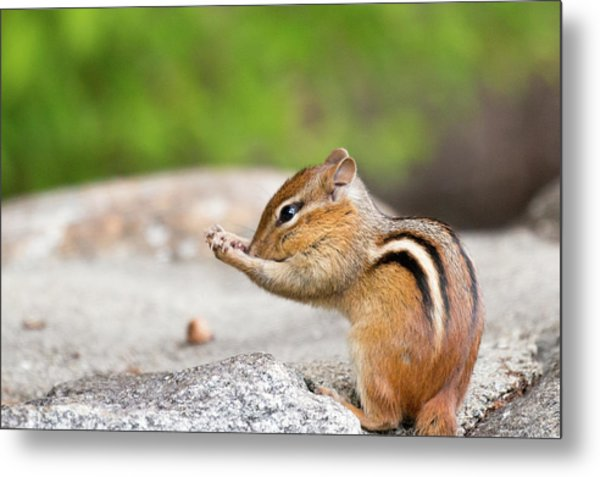 The Praying Chipmunk Metal Print
