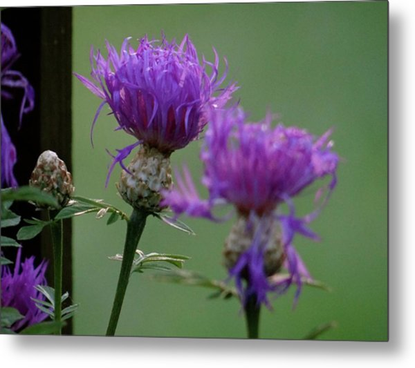 The Purple Bloom Metal Print