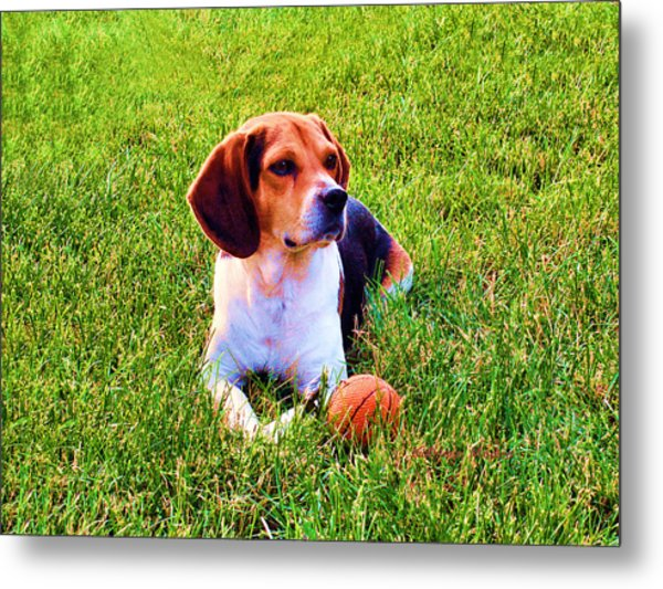 The Reserved Beagle Metal Print