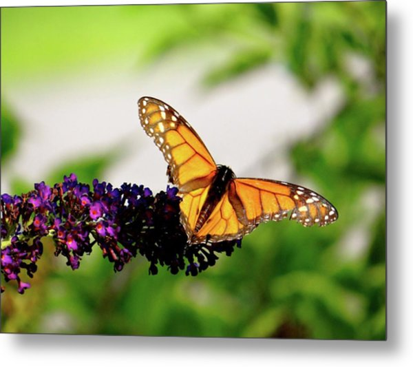 The Resting Monarch Metal Print