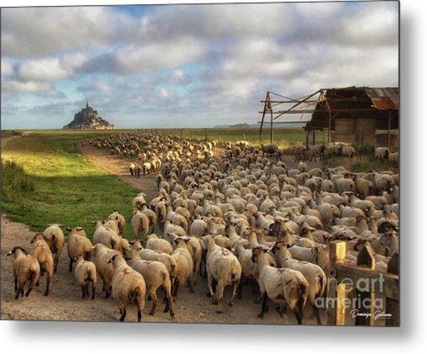The Sheep Of Mont Saint Michel Metal Print