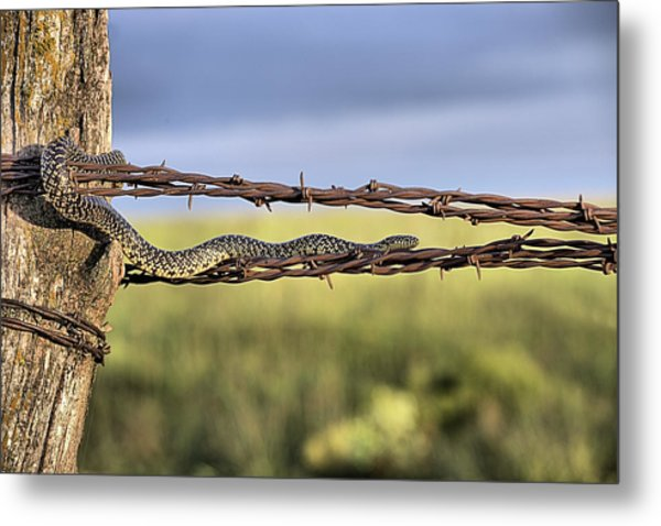 The Speckled Kingsnake  Metal Print by JC Findley
