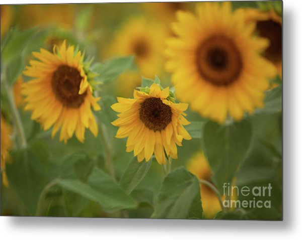 The Sunflowers In The Field Metal Print