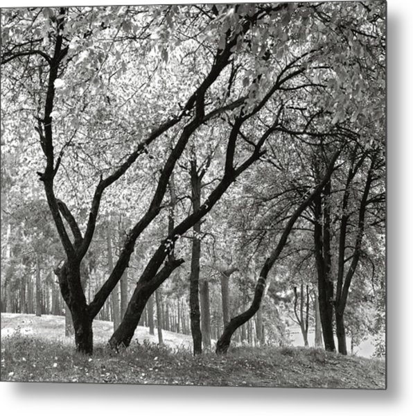The Trees Dancing. Chernihiv, 2014. Metal Print