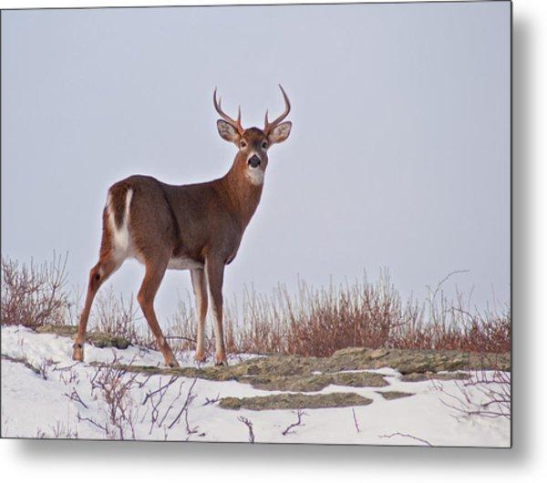 The Watchful Deer Metal Print