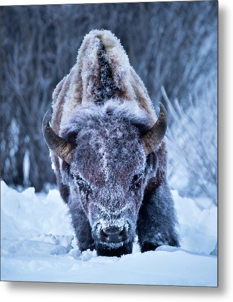 The Weary King // Yellowstone National Park  Metal Print