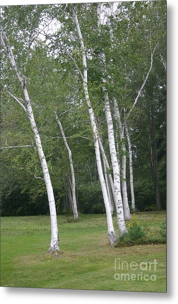 The White Birch Metal Print by Dennis Curry