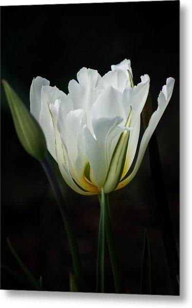 The White Tulip Metal Print