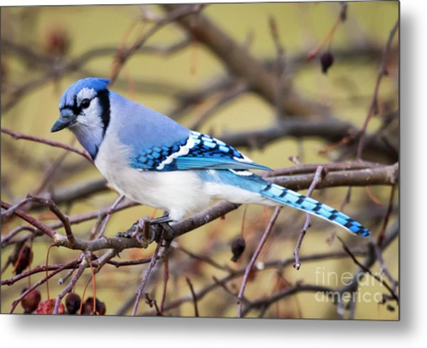 The Winter Blue Jay  Metal Print