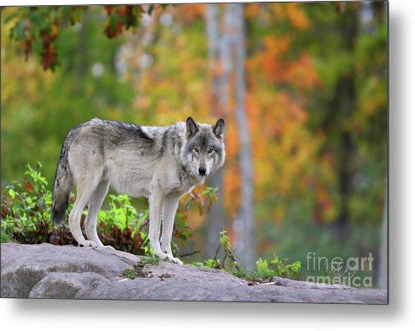 The Wolf. Metal Print