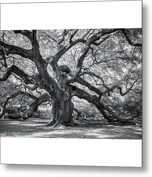 This Tree Is Located In Charleston Metal Print