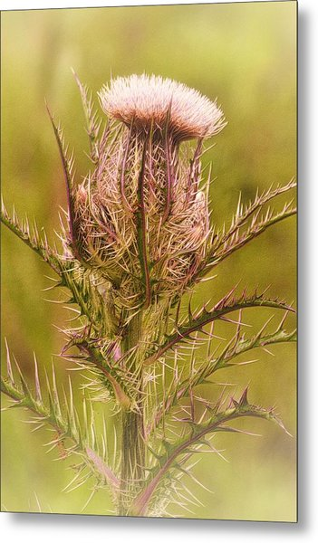 Thistle And Thorns Unfolding Metal Print