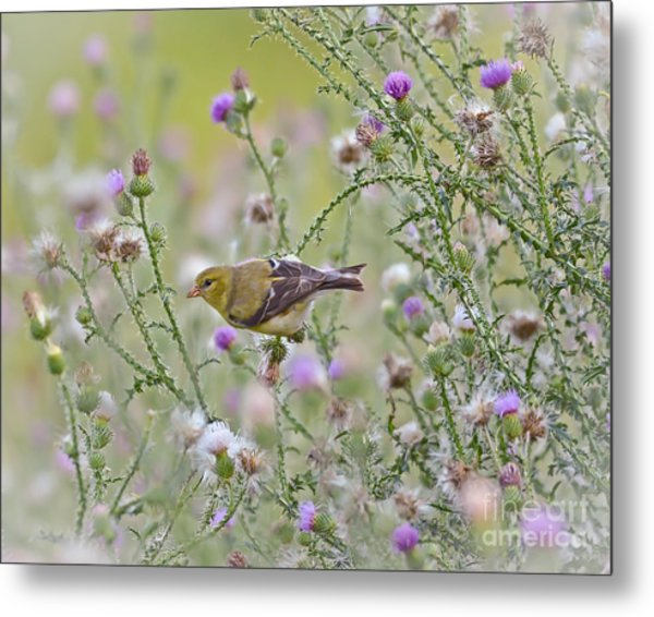 Thistle Bender Metal Print