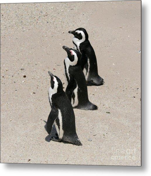 Three African Penguins Metal Print