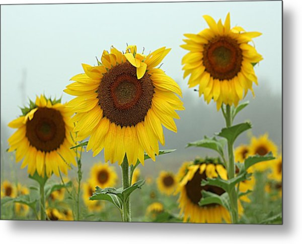Three Amigos In A Field Metal Print