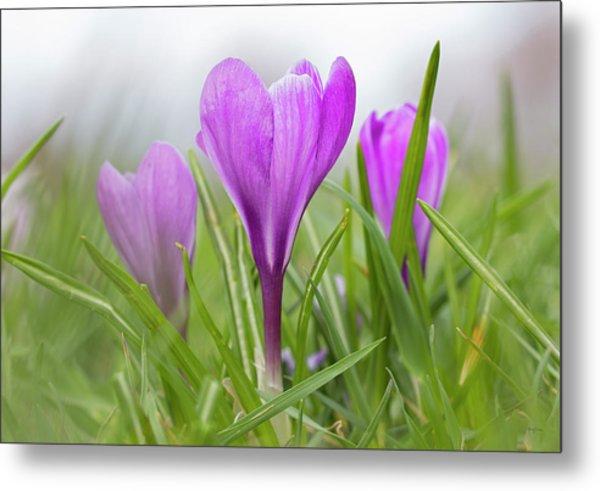 Three Glorious Spring Crocuses Metal Print