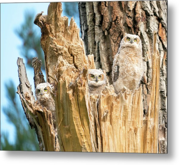 Three Great Horned Owl Babies Metal Print