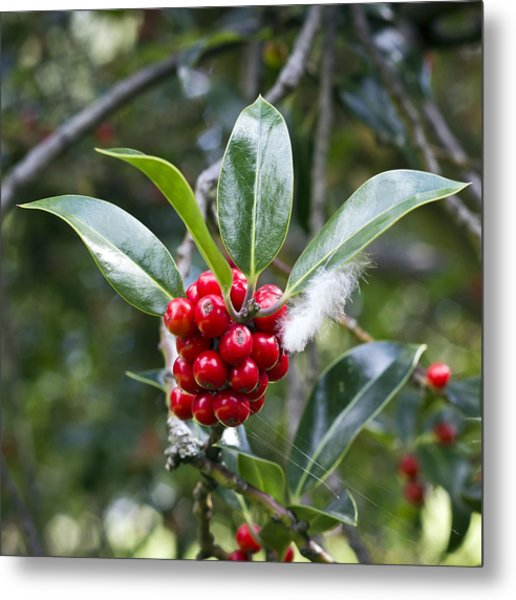 Metal Print featuring the photograph Three Happy Leaves Among Red Berries by Helga Novelli