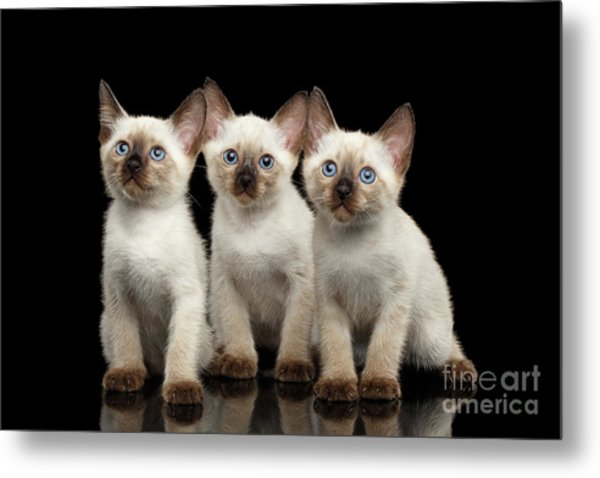 Three Kitty Of Breed Mekong Bobtail On Black Background Metal Print