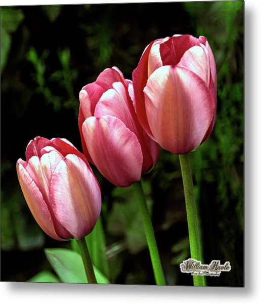 Metal Print featuring the photograph Three Tulips by William Havle