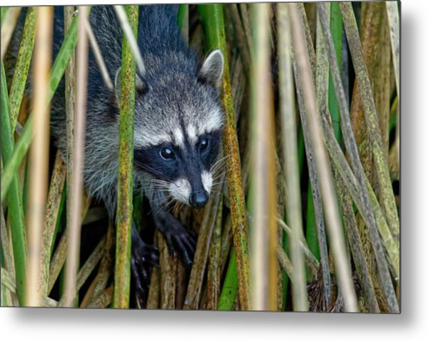 Through The Reeds - Raccoon Metal Print