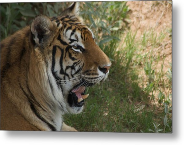 Tiger II Metal Print by Susan Heller
