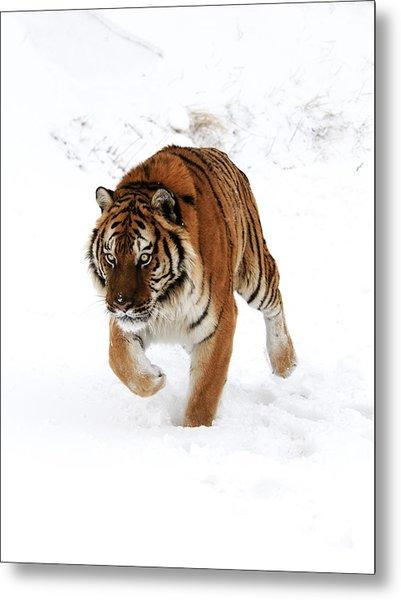 Tiger In Snow Metal Print