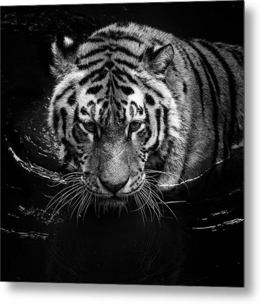 Tiger In Water Metal Print