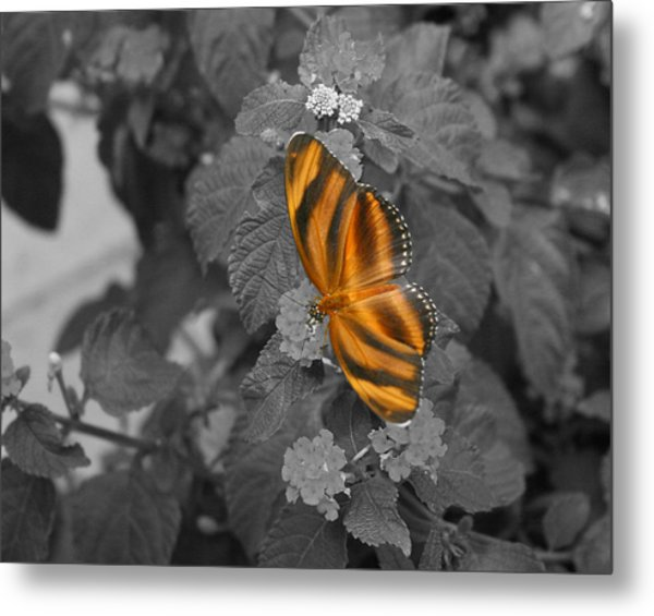 Tiger On The Wing 1 Colorized Metal Print