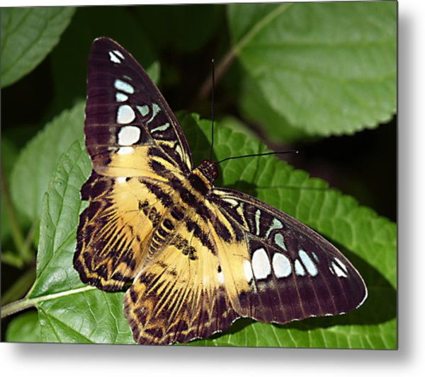 Tiger Print --- Clipper Butterfly Metal Print