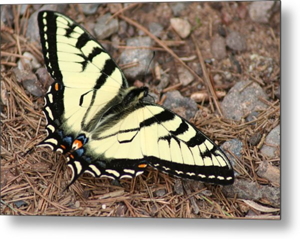 Tiger Swallowtail Metal Print by Jeff VanDyke