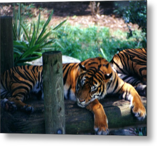 Tigers Sleeping Metal Print by Steve  Heit