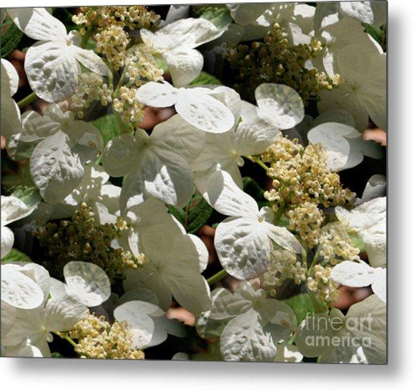 Tiled White Lace Cap Hydrangeas Metal Print