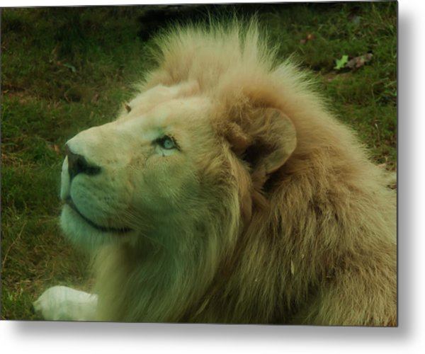 Metal Print featuring the photograph Timbavati White Lion by Chris Flees