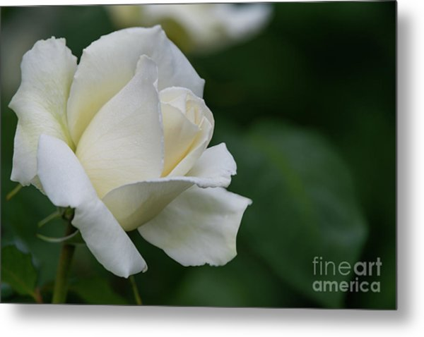 Tineke Rose 1 Metal Print