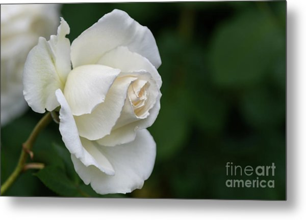 Tineke Rose 2 Metal Print