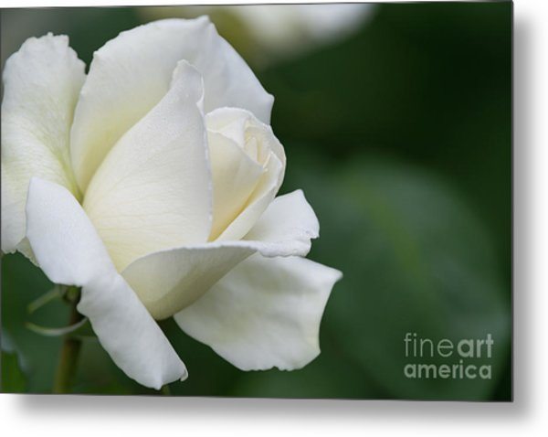 Tineke Rose 4 Metal Print