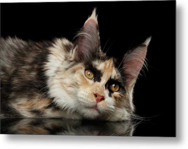 Tired Maine Coon Cat Lie On Black Background Metal Print