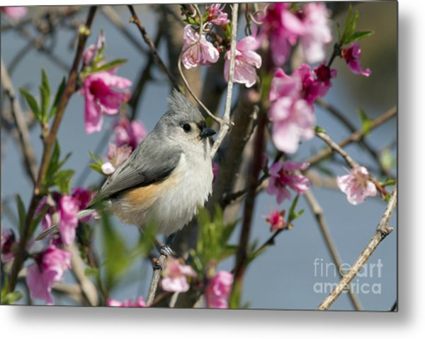 Titmouse And Peach Blossoms Metal Print