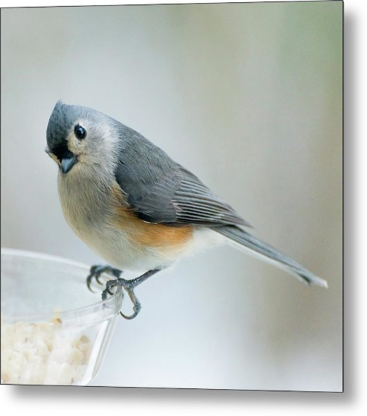 Titmouse With Walnuts Metal Print