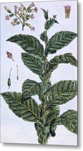 Tobacco Plant Metal Print