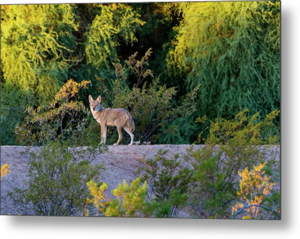 Today's Coyote Metal Print