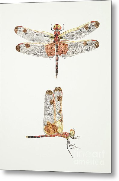 Top And Side Views Of A Male Calico Pennant Dragonfly Metal Print