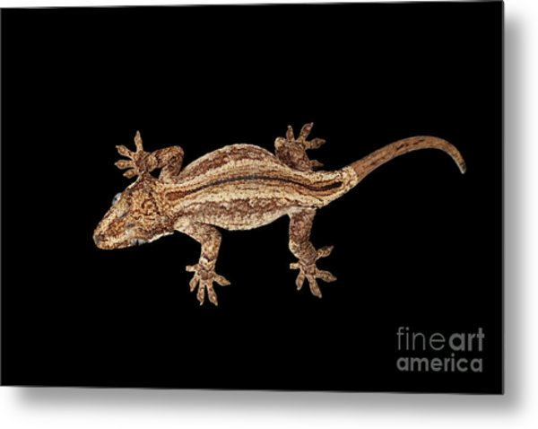 Top View Of Gargoyle Gecko, Rhacodactylus Auriculatus Staring Isolated On Black Background. Native T Metal Print