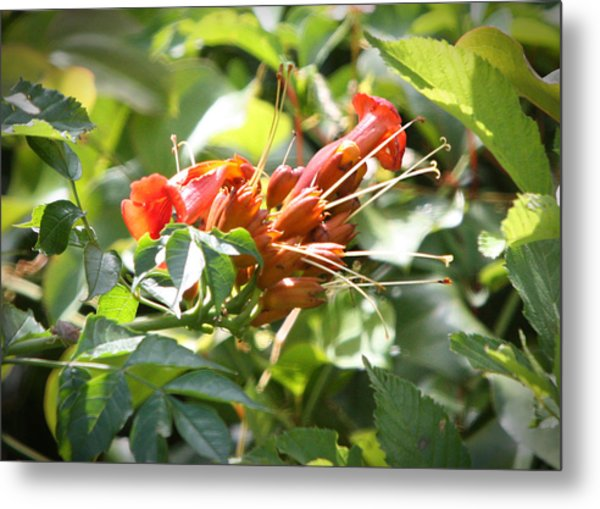 Tropical Trumpet Creeper Metal Print